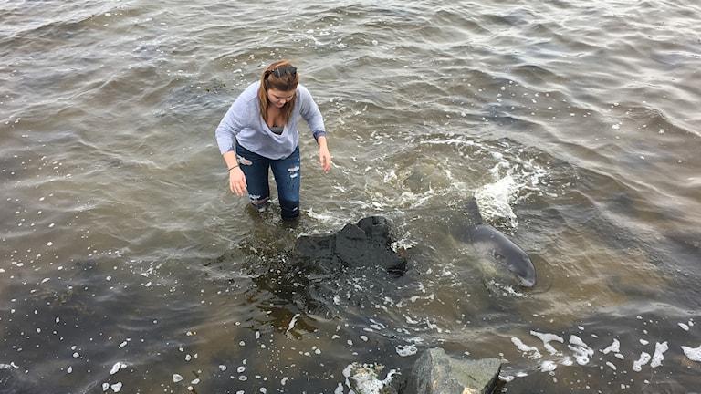 Tumlare som förirrat sig mot stranden får hjälp att ta sig ut till havs.