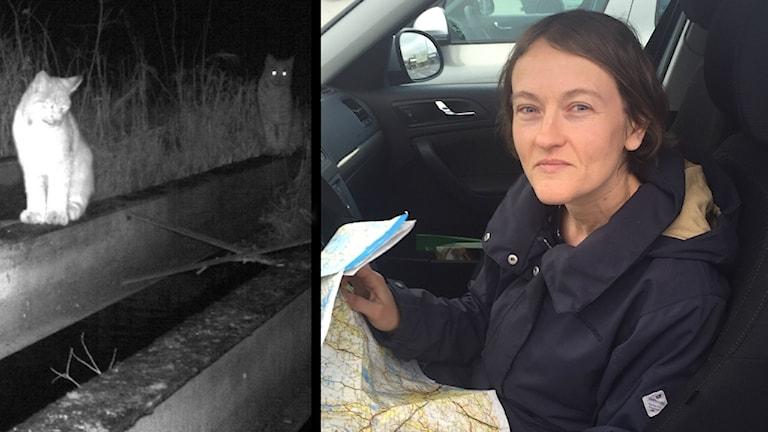 En splitscreen på några lodjur till vänster och Nelly Grönberg till höger. Nelly är kortklippt, svarthårig och ser väldigt snäll ut. Hon sitter i en bil och har en karta över Västsverige öppen.