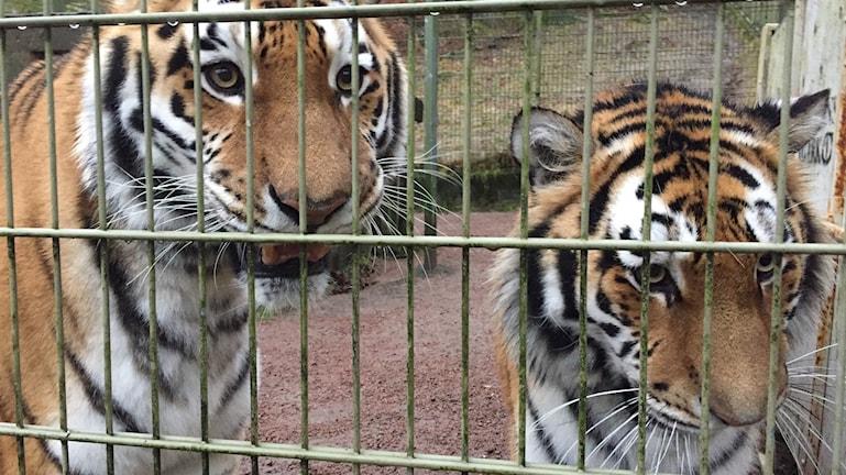 Två tigrar bakom gallret på Nordens Ark. De tittar in i kameran.