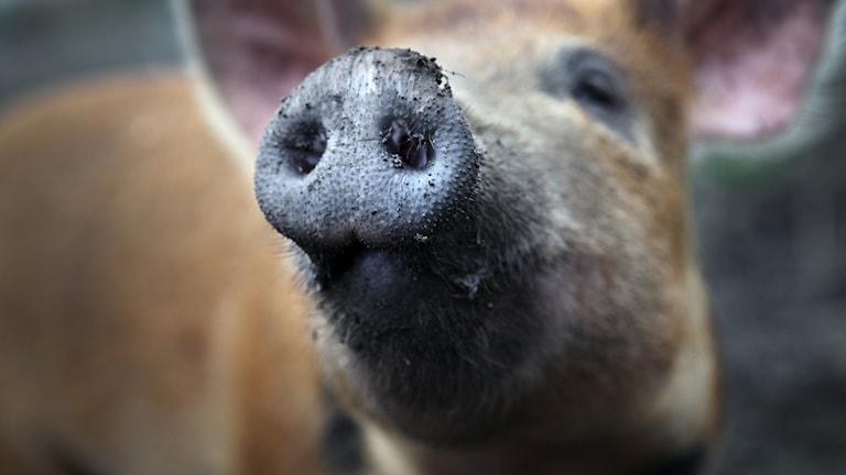 gris som närmar sig kameran