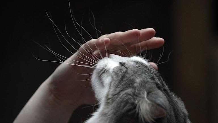hand som klappar katt