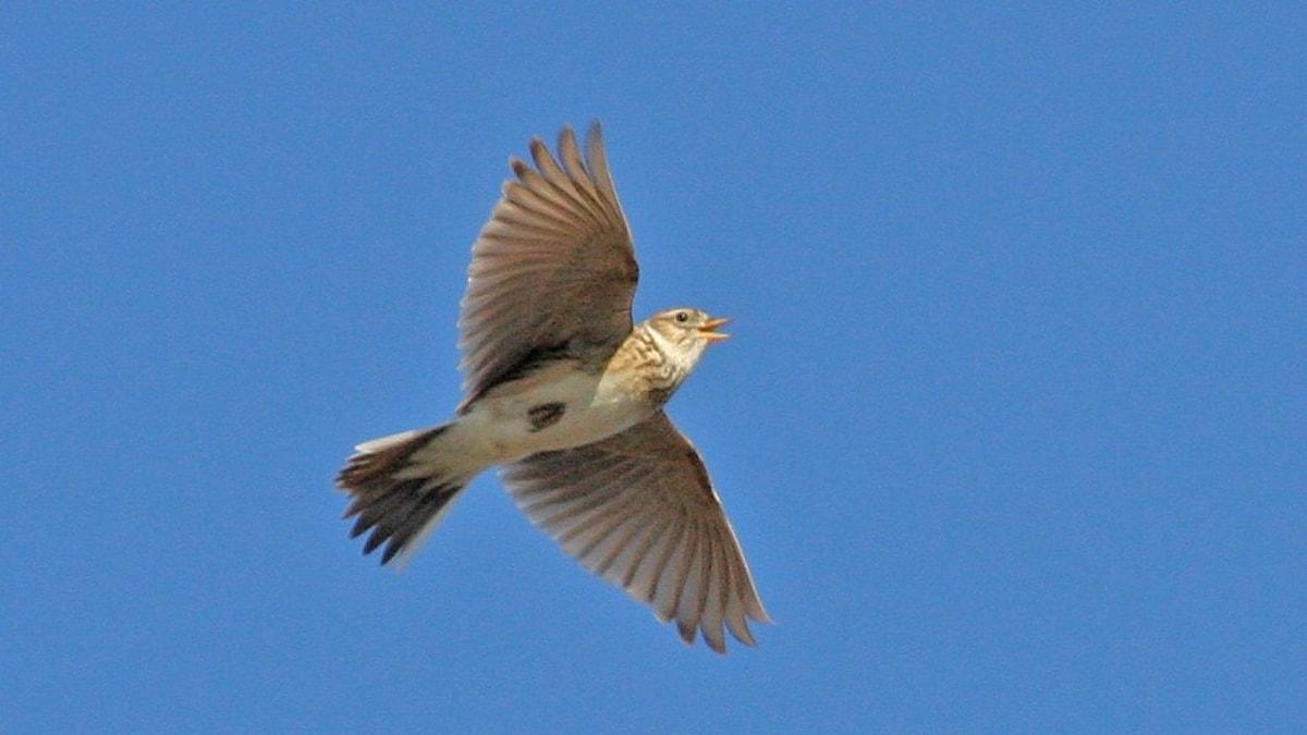Liten grå fågel svävar över en klarblå himmel