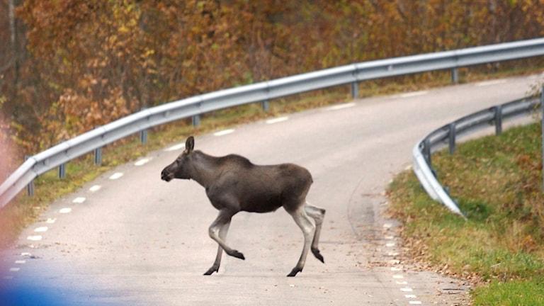 Älgkalv springer över vägen. Foto: Anders Andersson / TT