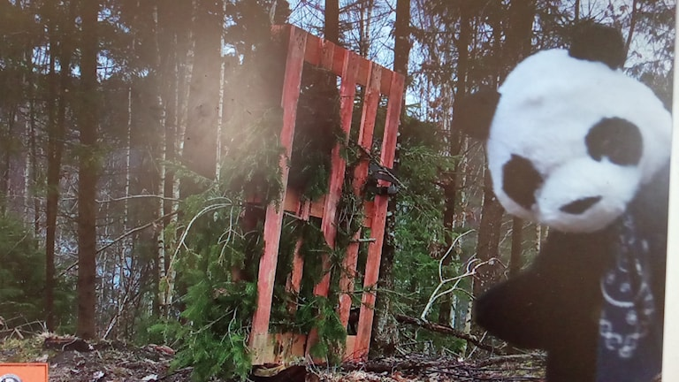 Pandan som fastnade på bilden i Sotenäs.