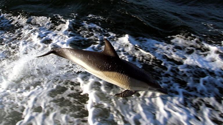 Delfin utanför Käringön