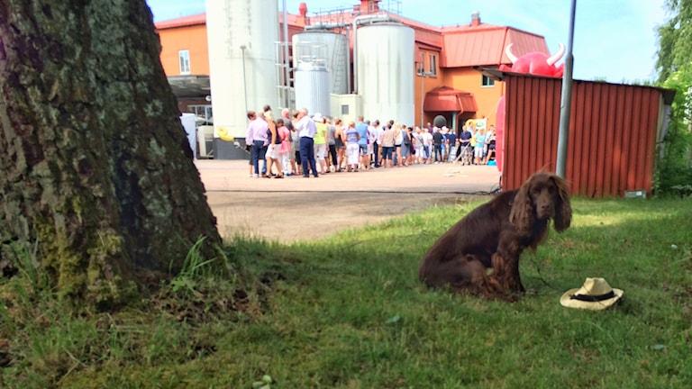 En brun hund sitter i förgrunden av bilden, den tittar rakt in i kameran och vaktar sin husses halmhatt. Bakom hunden ser man en lång kö av människor som ska in i mejeriet.