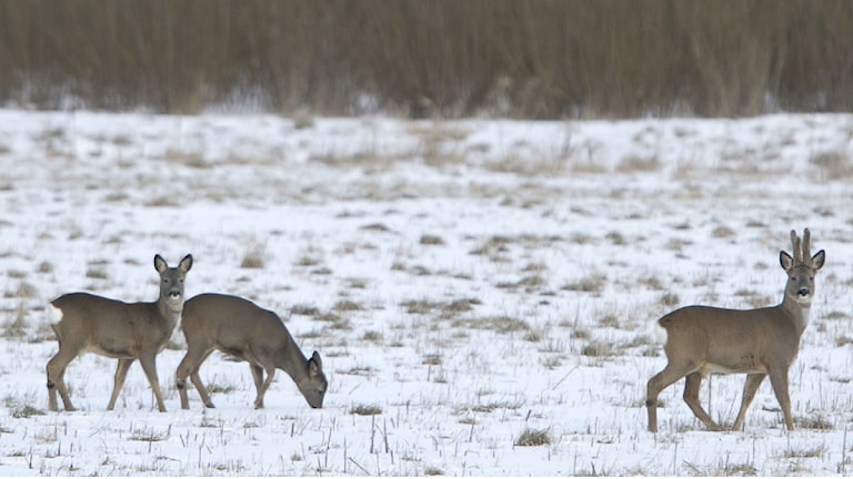 Rådjur söker föda på en snötäckt åker. Foto: Fredrik Sandberg/TT