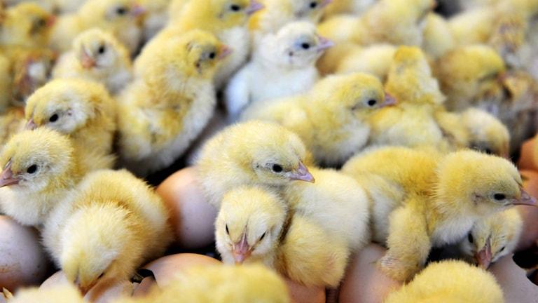 Kyckling. Foto: Lars Pehrson/TT.