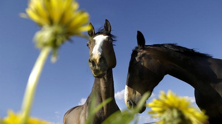 Hästar. Foto: David Magnusson/Scanpix