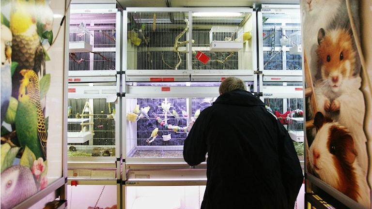 Arkivbild på en kund som tittar på burfåglar i en djuraffär. Foto: Henrik Montgomery/Scanpix.