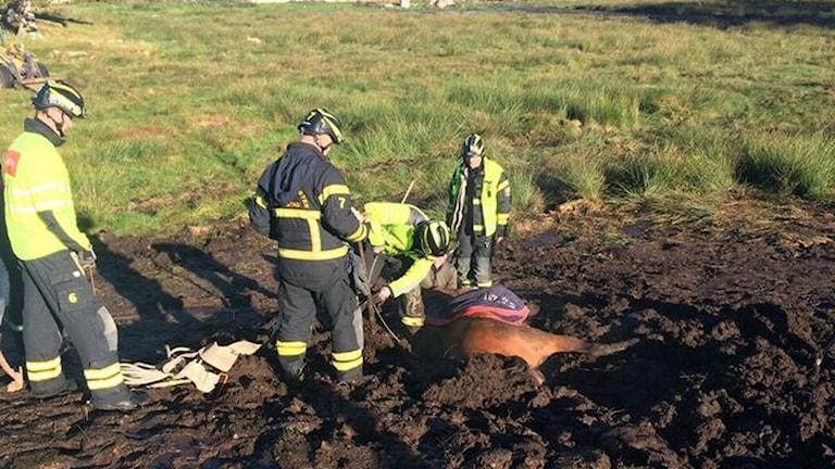 En häst hade fastnat i leran.