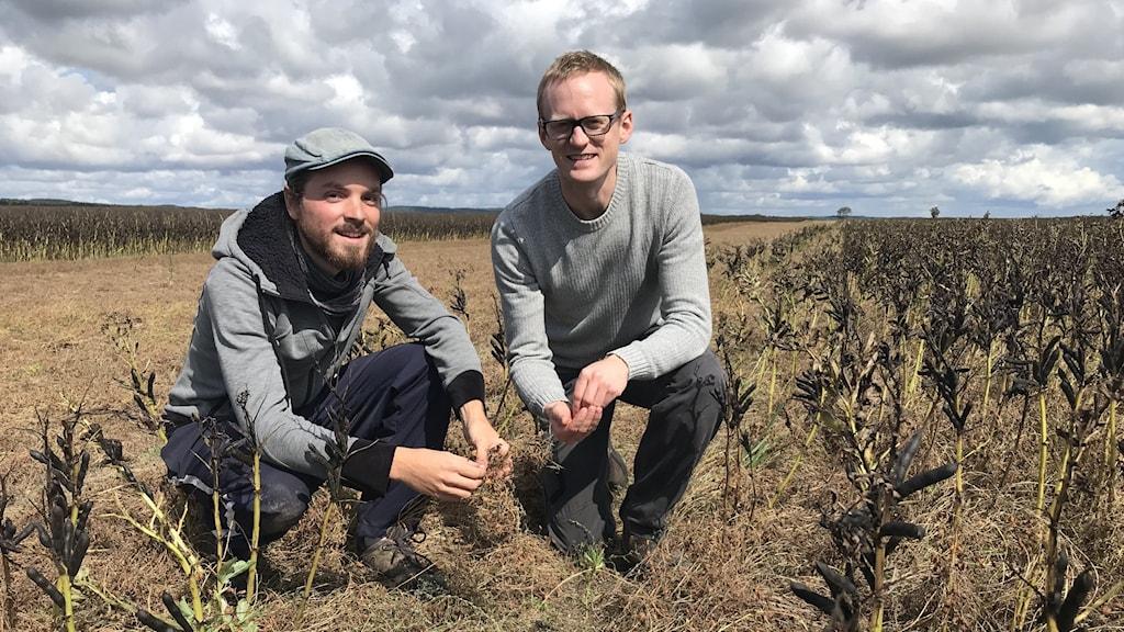 Växtforskare Nicolas Carton och odlaren Philip Hedeng på Heagårds Egendom.