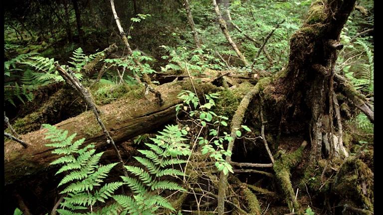 Den svenska urskogen hotad? Foto: Hasse Holmberg/TT
