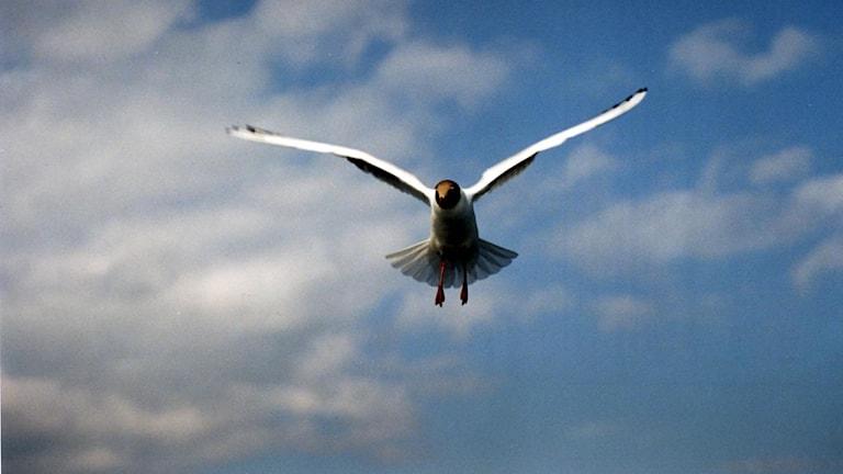 Tofsvipan – ett vårtecken för fågelskådarna. Foto: Pawel Flato/TT