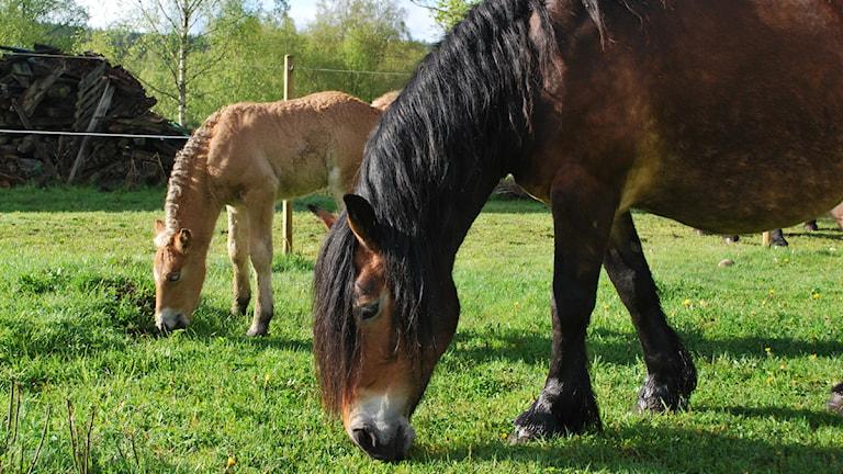 Den nordsvenska hästaen håller på att försvinna. Därför var fölet Lycka extra välkommen. Här är hon med mamman Irma. Foto: Per Qvarnström/Sveriges Radio