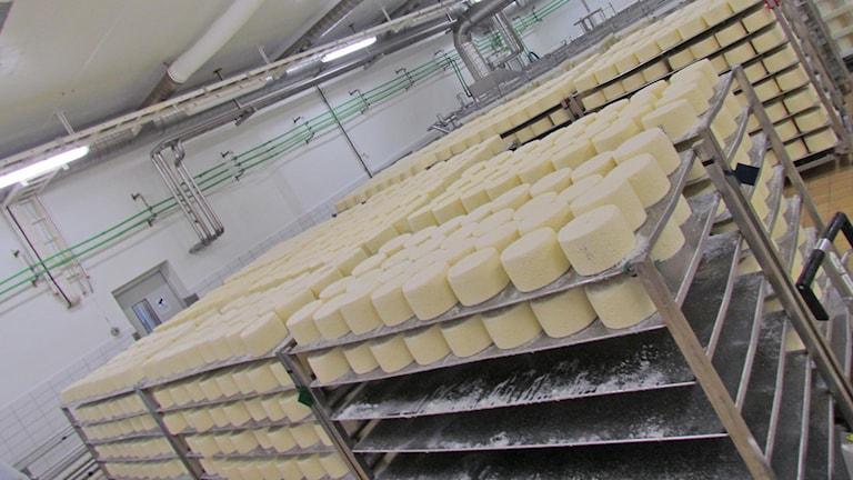 Runda ostar ligger i långa rader i väntan på att bli inpackade