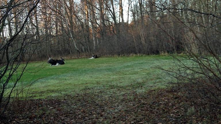 Flera har mött de tama älgarna. Foto: Privat