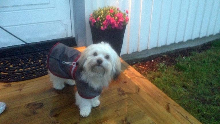 Hunden Sune, nio månader gammal, blev sjuk efter en promenad. Foto: Sveriges Radio