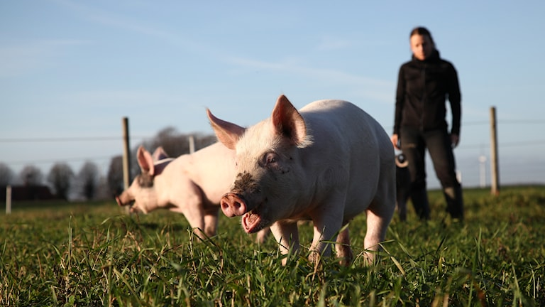 Annas grisar är innomhus i stor djupstrlöbädd med mycket halm. Dom har fri tillgång att gå ute varje dag. Foto: Privat