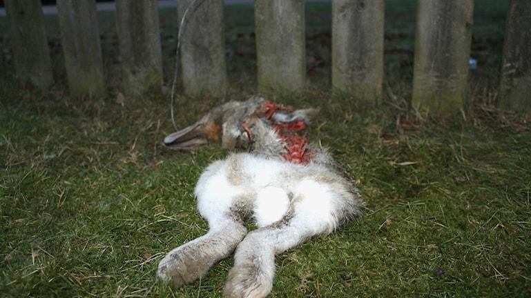 Att snara hare är en olaglig jaktmetod som kan försorsaka stor skada och lidande hos haren. Foto: Henrik Martinell / Sveriges Radio