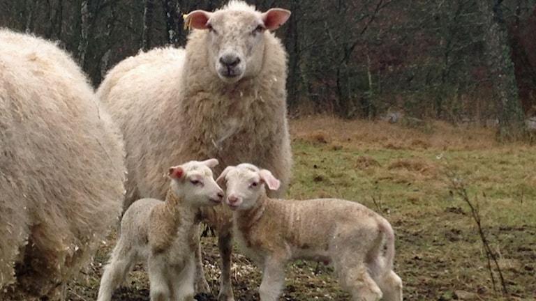 Ett lamm och en bagge har anmälts stulna i Uddared. Foto: Privat
