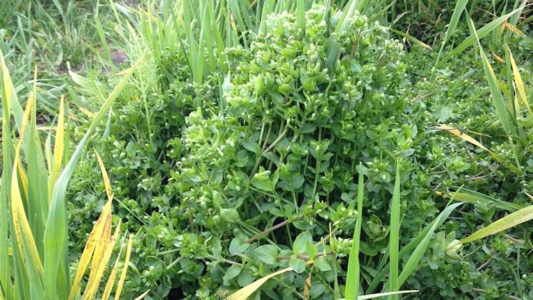 Våtarv är ett av världens vanligaste ogräs. I Halland ökar herbicidresistensen hos detta ogräs, främst i trakterna kring Falkenberg. Foto: Margareta Björk