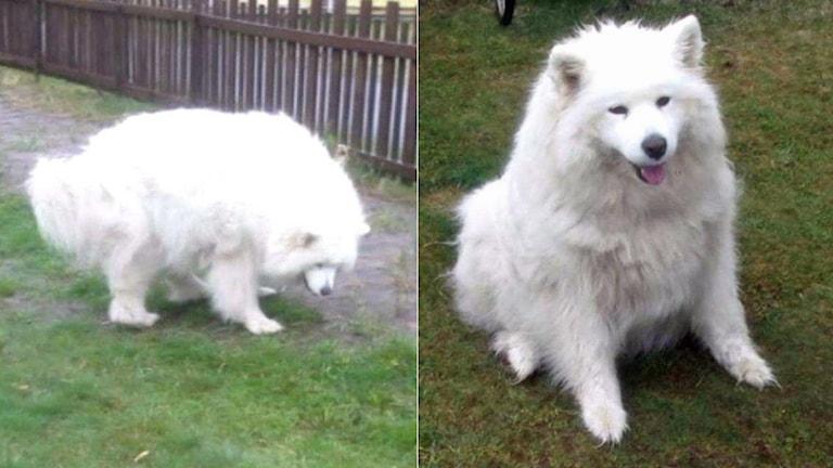 Hunden vägde 35 kilo, dubbelt så mycket som den borde, enligt rätten som dömer ägaren för djurplågeri. Foto: Polisens förundersökning.