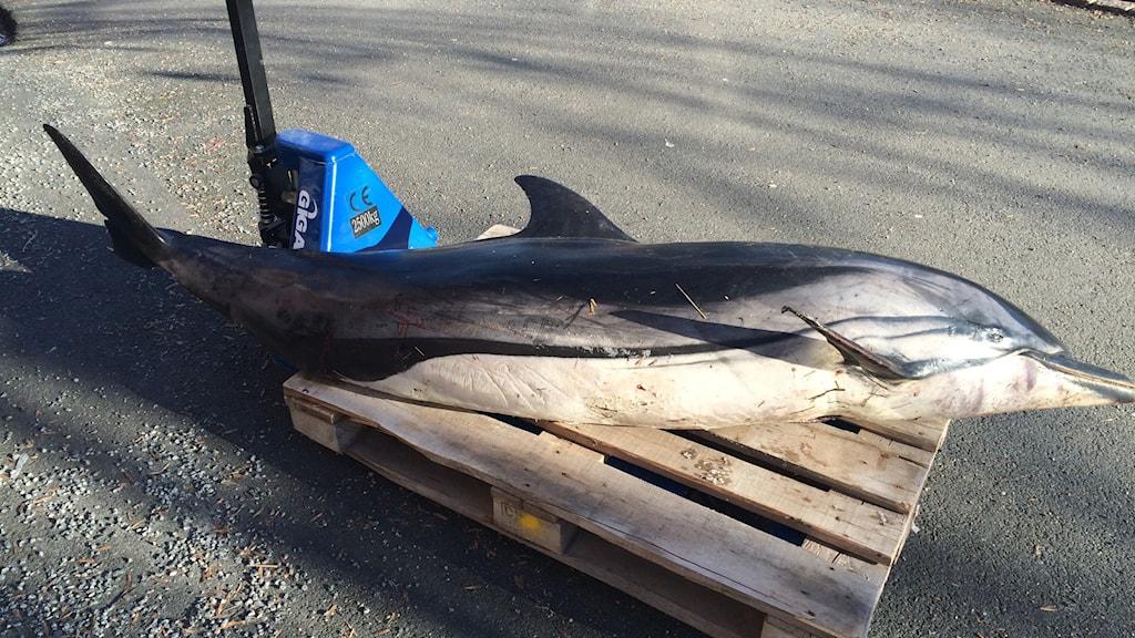Delfinerna strandade på Onsalahalvön söder om Göteborg i helgen. Foto: Hans Peter Dahlgren/Göteborgs Naturhistoriska museum.