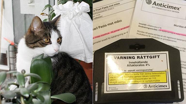 Katten Elvis tros ha förgiftats av råttgiftet Black Pearl. Foto: Sveriges Radio/Privat.