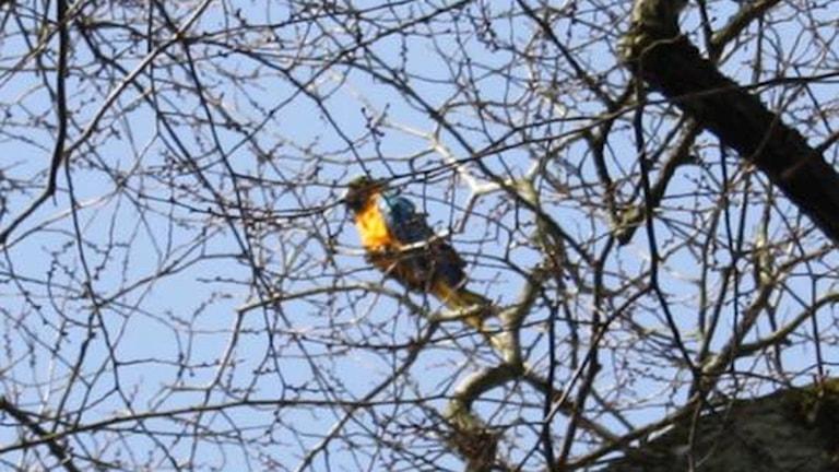 Papegojan satt i förmiddags högt upp i ett träd utanför stadshuset. Foto: Privat.