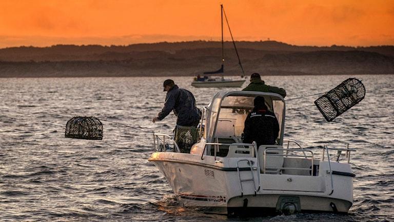 En båt är ute på havet och en man lägger ut hummertinor.