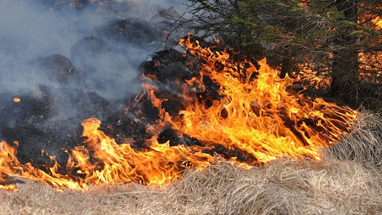 Torrt gräs som bränns upp av eld