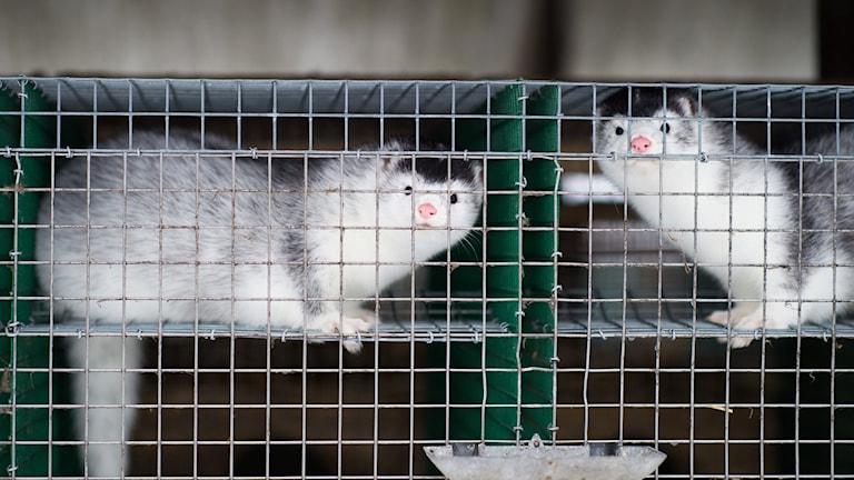 Två minkar i bur.