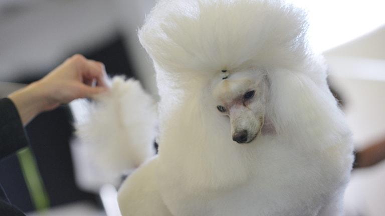 en vit pudel med fluffig päls