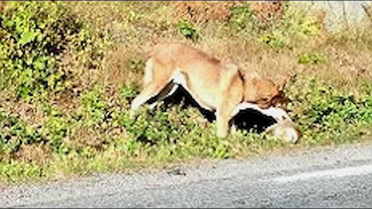 Djuret sågs på vägen mellan Åsa och Stuv i Kungsbacka kommun.