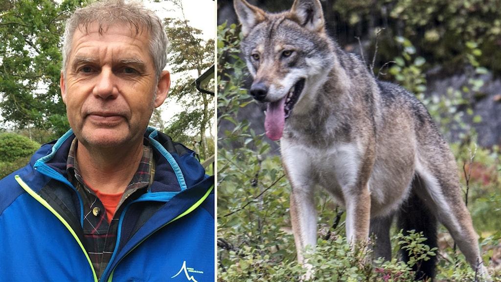 Till vänster en man klädd i blå jacka. Till höger en varg med tungan hängandes utanför munnen.