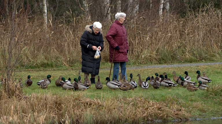 Djurskyddet Varbergs Djurhjälp uppmanar allmänheten att sluta mata änder med bröd.