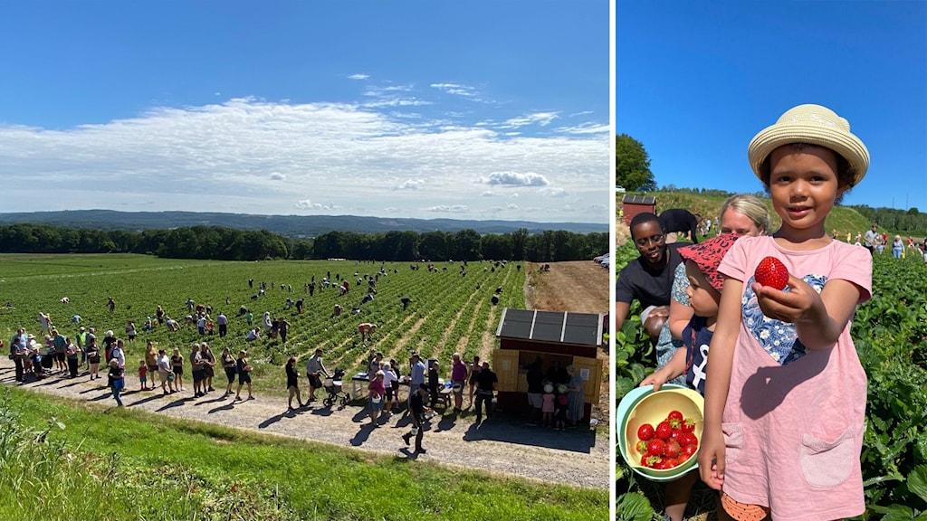 Till höger på bilden, ett stort fält med självplock av jordgubbar. Många köar. Till vänster en flicka som håller en jordgubb i handen.