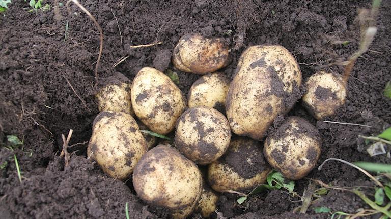 Vattenfyllda åkrar ger dåligt med potatis.
