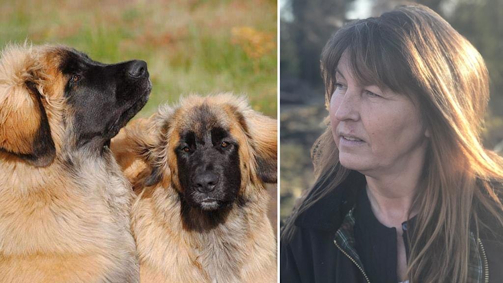 De två hundarna Lotus och Mingla innan de försvann och matte Maria Andersson. Foto: Pernilla Toftehag och Samira Othman/Sveriges Radio