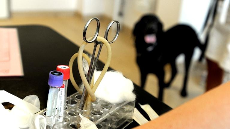 hund hos veterinär, tt-bild
