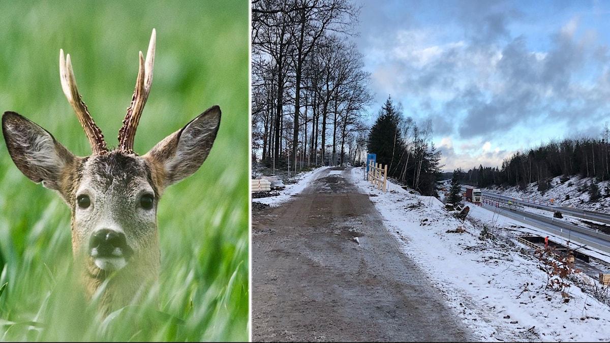 Bygget av ekodukten vid Hallandsåsen har börjat, till vänster en bild av ett rådjur och till höger en bild från byggarbetsplatsen.