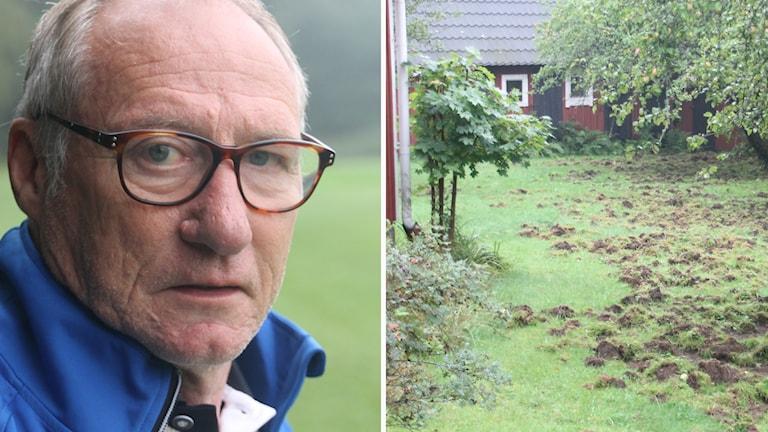 Ingvar Carlsson på Ryda golfklubb intill en gräsmatta som förstörts av vildsvin.