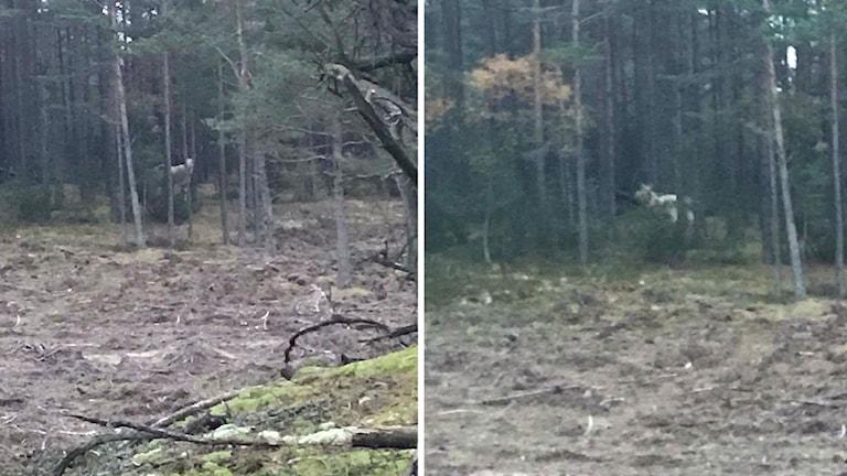 David Fridolf såg en vit älg när han var ute på en joggingrunda.