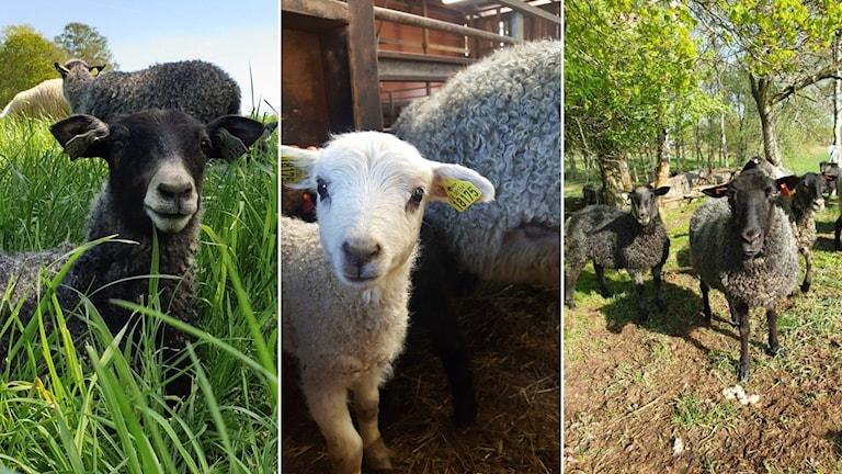Det är tre bilder med lamm. Ett svart lamm ligger i gräset, ett vitt lam står inomhus och flera svarta lamm står upp ute bland träd.