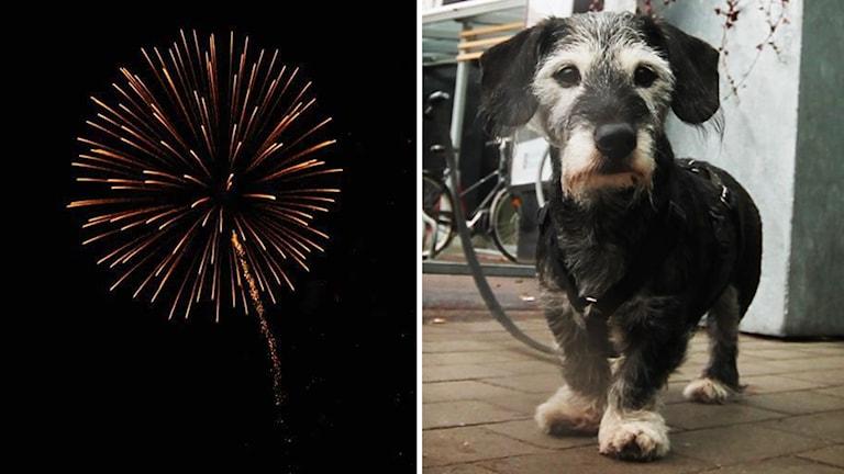 hund, fyrverkeri, splitbild
