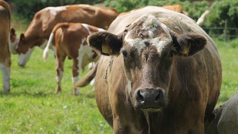 Kor i en hage.