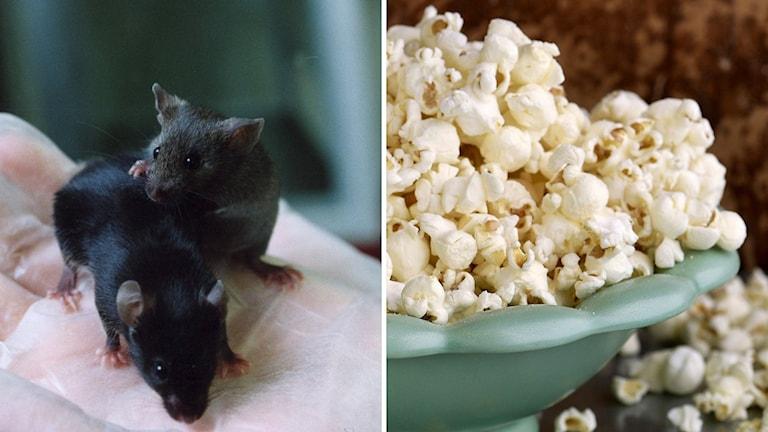 till vänsteren bild på möss, till höger popcorn