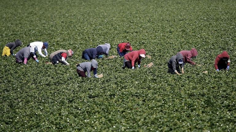 Migranter plockar jordgubbar