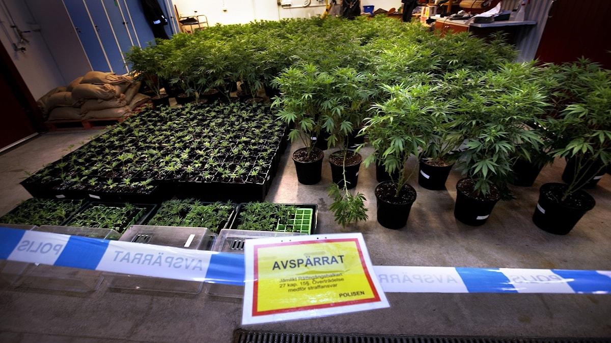 Cannabisbeslag i Sverige
